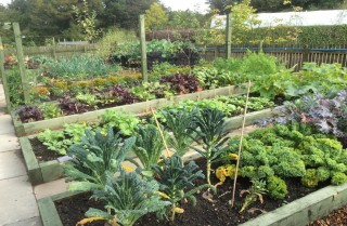 A colour photograph showing allotment beds with produce grown in them.