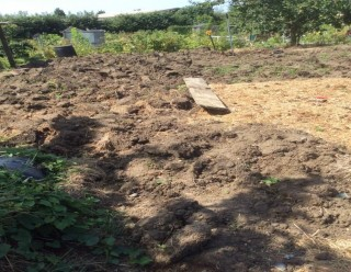 Colour photograph showing manure on the allotment   Southlands Road Allotment and Gardens Association