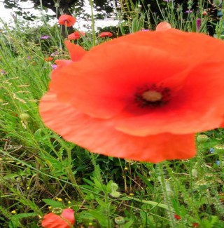 Colour photograph showing a poppy flower   Southlands Road Allotment and Gardens Association