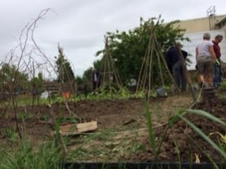 Image of allotment plot with cane wigwams used to support beans.   Southlands Road Allotment and Gardens Association