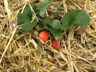 Strawberries on a bed of straw | Southlands Road Allotment and Gardens Association